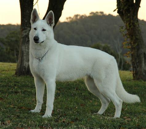 white german shepherd puppies for sale in va german shepherd puppies for sale german shepherd autos post