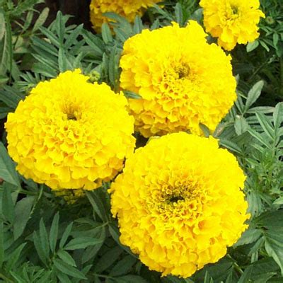 buy african marigold yellow plant   nursery