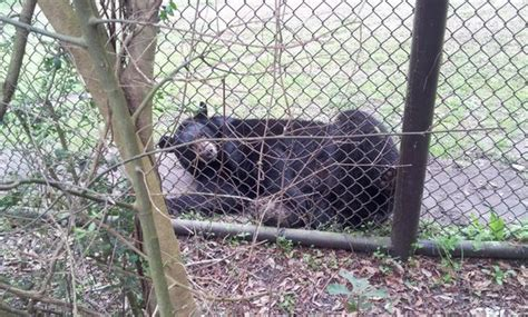 Peaceful Oaks Bed And Breakfast Bear In The Zoo Picture Of Charles Towne Landing State