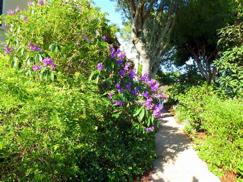 Sanibel Island Botanical Garden Purple Tree Blooming In Our Sanibel Beachside Botanical Gardens Sanibel Moorings