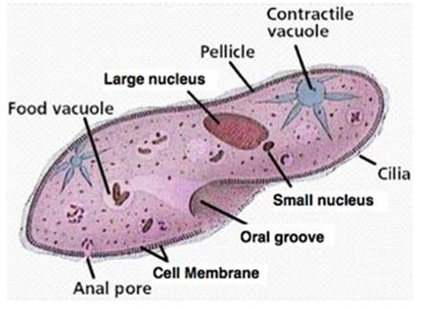 diagram of paramecium label the diagram below with the following parts
