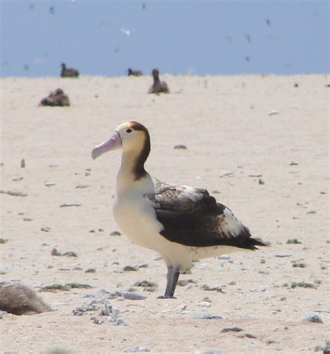 short tailed albatross phoebastria albatrus hawaii