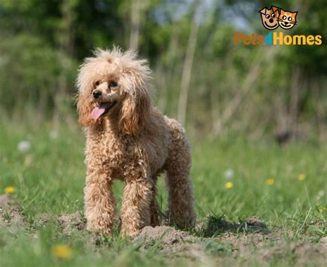 mini poodle info miniature poodle breed information buying advice