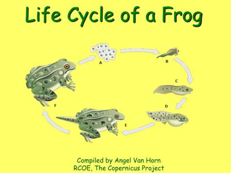 lifespan of a ppt cycle of a frog powerpoint presentation id 221081
