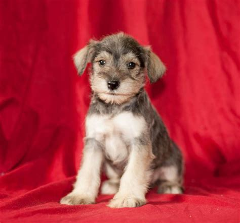 dogs for sale in missouri miniature schnauzer puppies for sale in kansas city missouri breeds picture