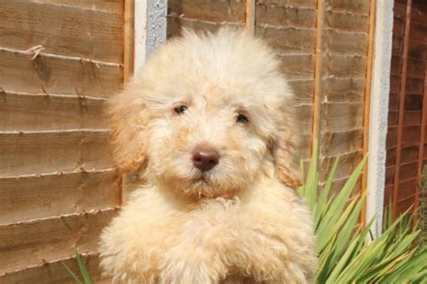 labradoodle dogs miniature f1b labradoodle puppies taunton somerset pets4homes