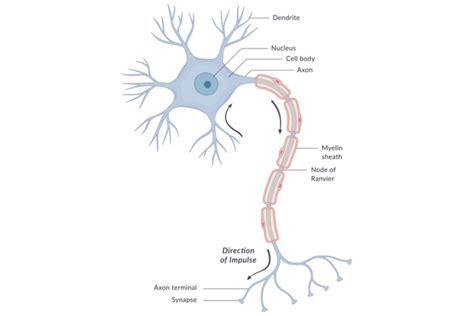 simple neuron diagram the anatomy of neurons human biology