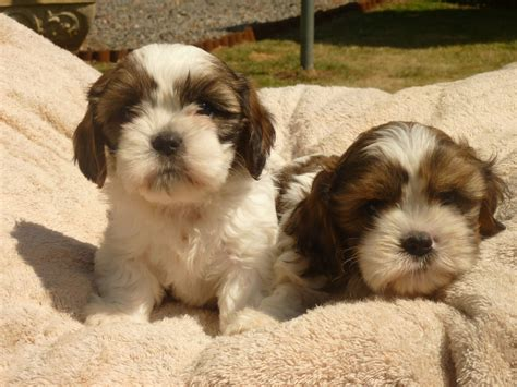 cava shih tzu cava shih tzu puppys for sale derby derbyshire pets4homes