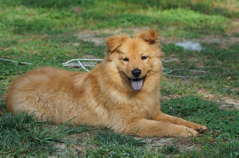 chow golden retriever mix golden retriever chow mix