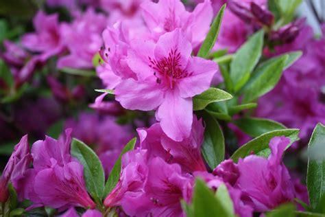 New Azalea azaleas donna s garden