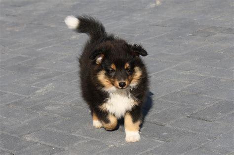 sheltie sucht zuhause hunde rassehunde sheltie tieranzeigen