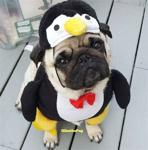 pugs in costumes best 25 pugs in costume ideas on pug costume pugs and pug puppies