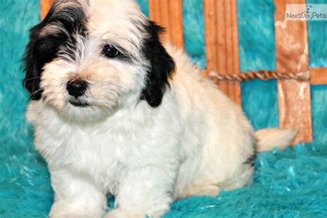 havanese puppies dallas havanese puppy for sale near dallas fort worth 97d6c9b0 d1a1
