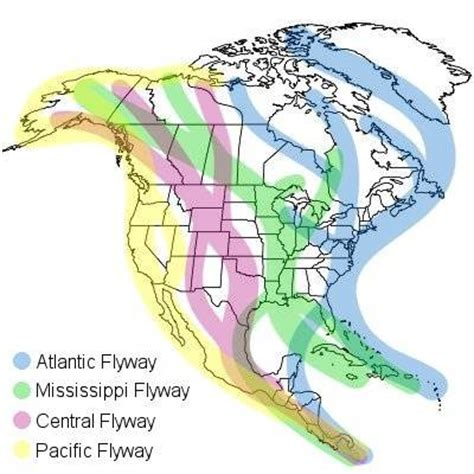 america bird migration map and free montana quot our quot tundra swans an update