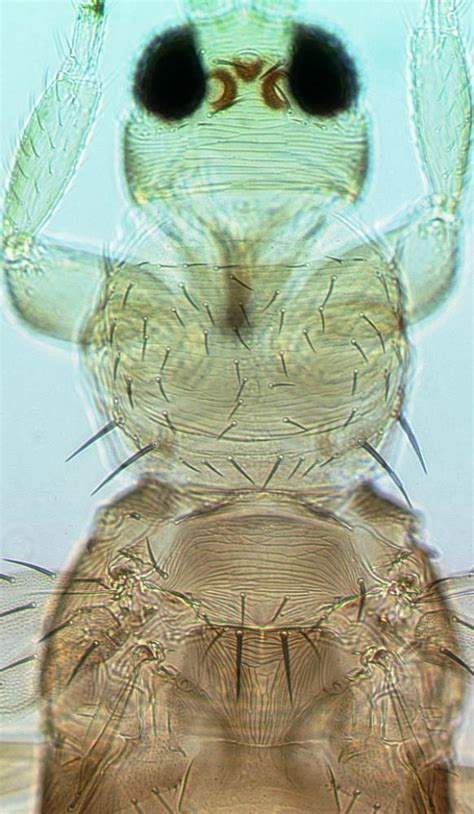 Gardenia Thrips Thrips Hawaiiensis Browse Species Thrips Of California