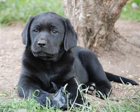 black retriever puppies labrador puppies and dogs for sale pets classifieds new style for 2016 2017