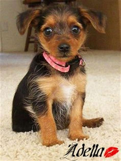 teacup yorkie poodle mix 1000 images about animals on white siberian husky teacup poodles and