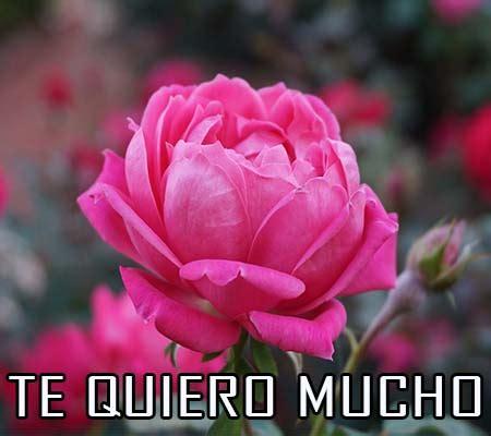 imagenes de rosas te quiero mucho rosas de amor con frases te quiero rosas de amor