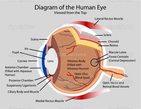 diagram of on the pictures of the human ear with labels archives human