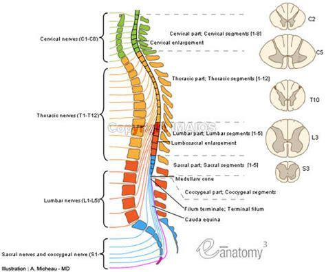 diagram of the spinal cord thombiology30 nervous system