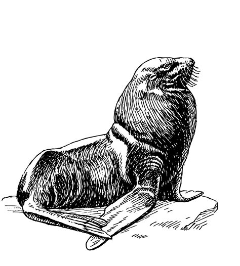 seal clip seal illustration clipart free stock photo domain