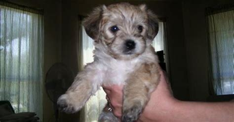 teacup yorkie poo puppies for sale in pa teacup yorkie poo puppies for sale teacup yorkie poo for sale in nc teacup yorkie