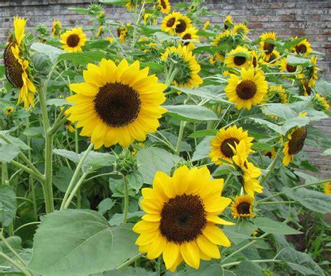 black sunflower seed growers 2015 garden scenery yellow pink black sunflower seed