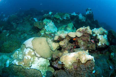 Flower Garden Reef Coral Bleaching Flower Garden Banks National Marine