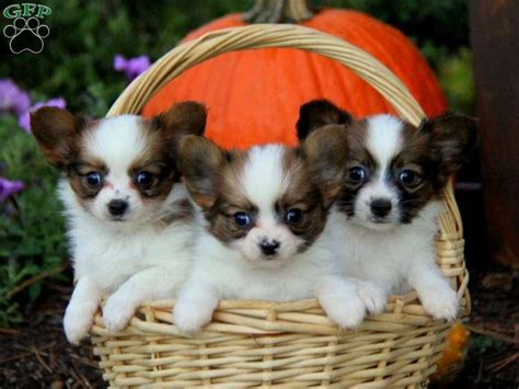 papillon puppies for sale in florida papillon dogs for sale petzlover