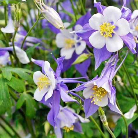 aquilegia plant blue star dobies