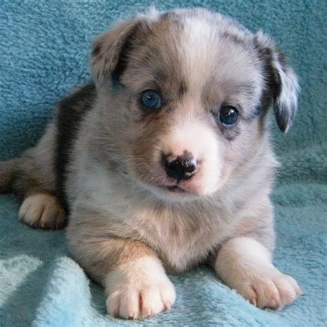 puppies for sale in tx cardigan corgi puppies for sale aztec sweater dress