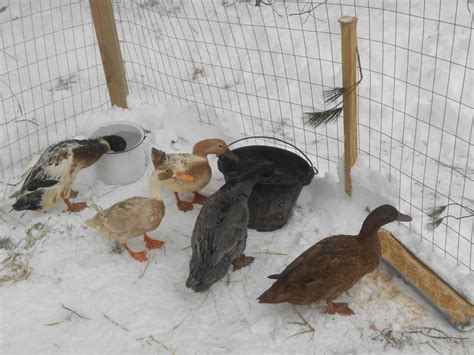 Backyard Chickens Winter Care Triyae Backyard Chickens In Winter Various Design