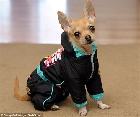 Komik Hes More Than My rocky the chihuahua britain s best dressed even has