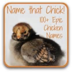 caring  baby chicks   brooder
