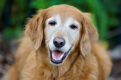 how do dogs age how is your how veterinarians estimate age