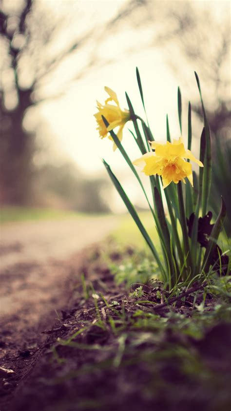 wallpaper daffodils   wallpaper flowers spring