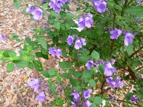 australian shrub purple flowers angus s top ten australian plants for perfume and scent