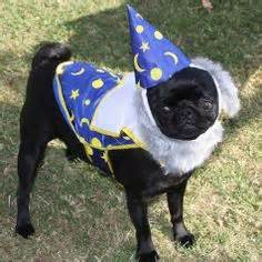 pug wizard delightful dogs on corgis pomeranians and dogs