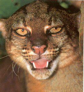 borneo bay cat bay cat facts big cat rescue