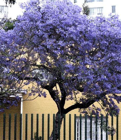 lavender tree photograph by patricia januszkiewicz