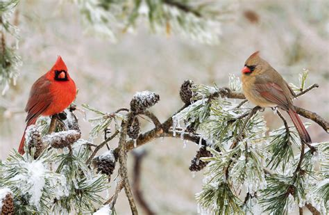 wild birds unlimited cardinal gathering