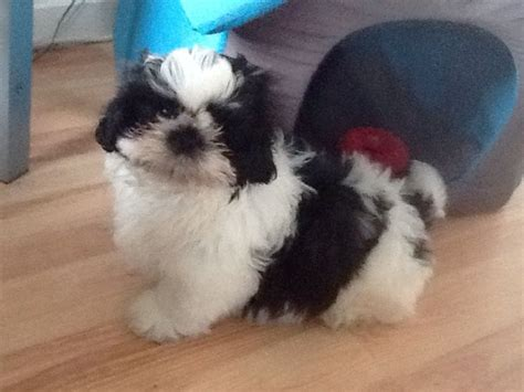 trained shih tzu puppies for sale shih tzu breed information rachael edwards