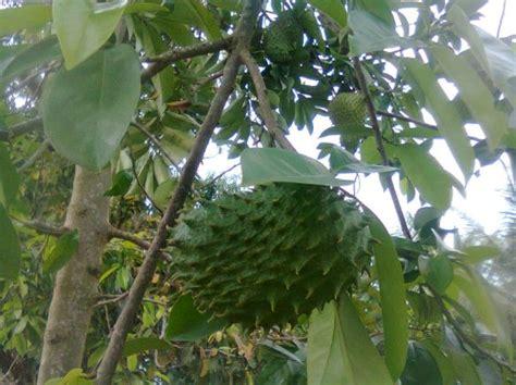 4 panduan budidaya tanaman buah sirsak ratu didalam pot tabulot agar rajin berbuah