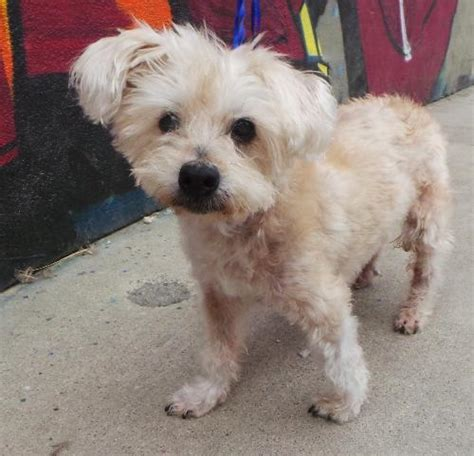 yorkie rescue toronto rescue yorkie poodle cross 8 years city
