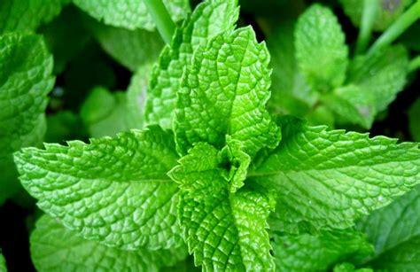 khasiat tanaman obat tradisional obat tradisional