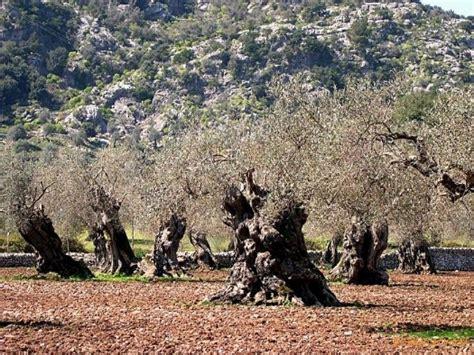 ulivo giardino domande su piante di ulivo secolare domande e risposte