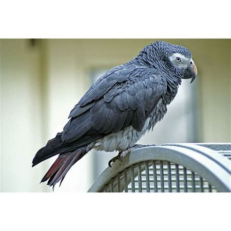 african grey inherited traits african grey parrots conservation threats