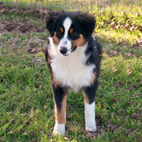 tri color aussie miniature australian shepherd breed guide learn about