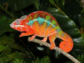 do all chameleons change colors do you how chameleons change color here s the answer