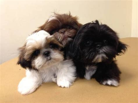 average size of a shih tzu litter size of shih tzu dogs many